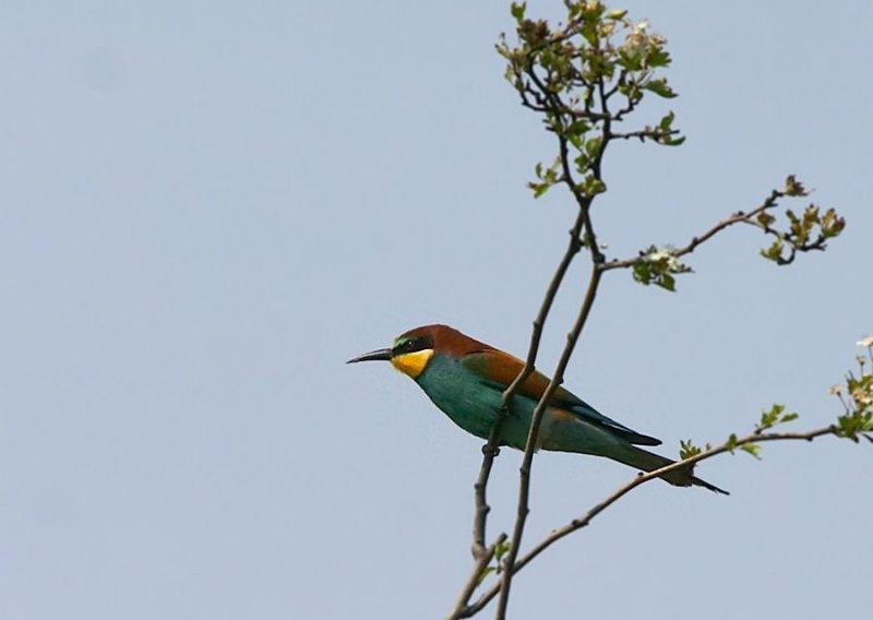 Bijeneter - European Bee-eater