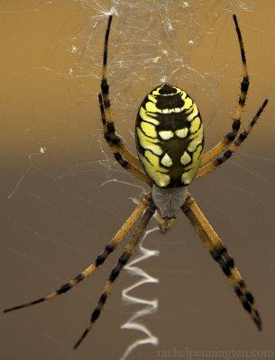 Argiope aurantia: Garden Spider