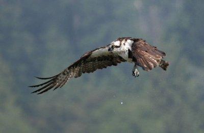 Osprey Observes his Catch - IMG_2023.JPG