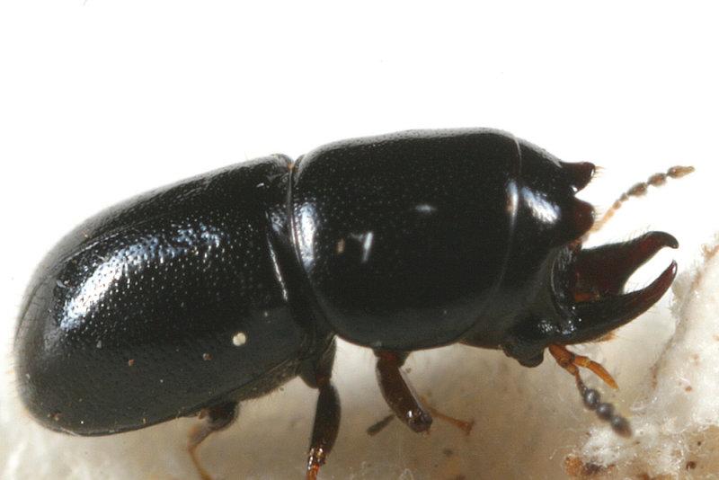 Octotemnus sp.
