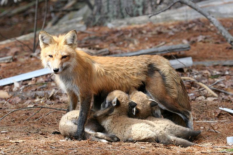 Red Fox - Vulpes vulpes (feeding the babies)