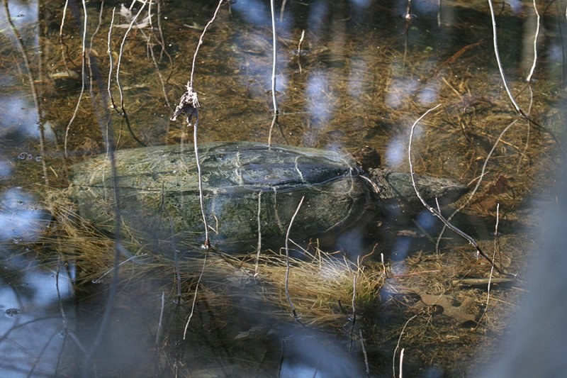 Snapping Turtle - Chelydra serpentina