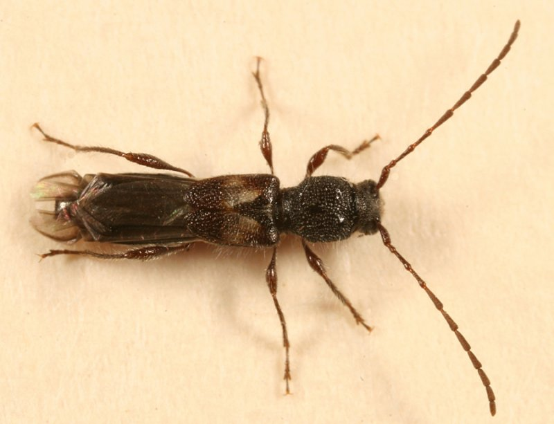 Molorchus bimaculatus