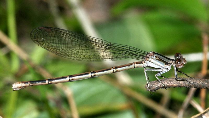 Variable Dancer - Argia fumipennis (female)