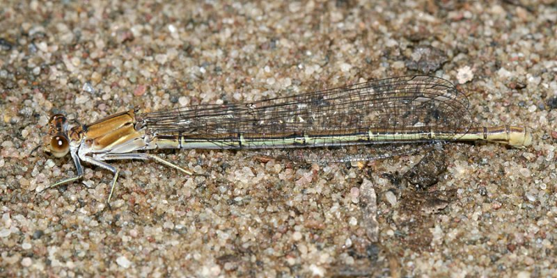 Powdered Dancer - Argia moesta (female)