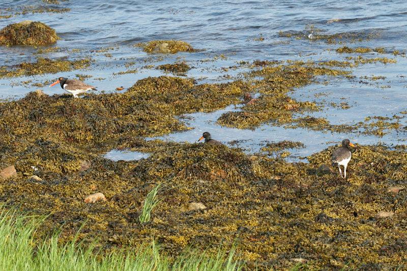 American Oystercatcher - Haematopus palliatus