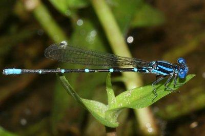 Blue-ringed Dancer - Argia sedula