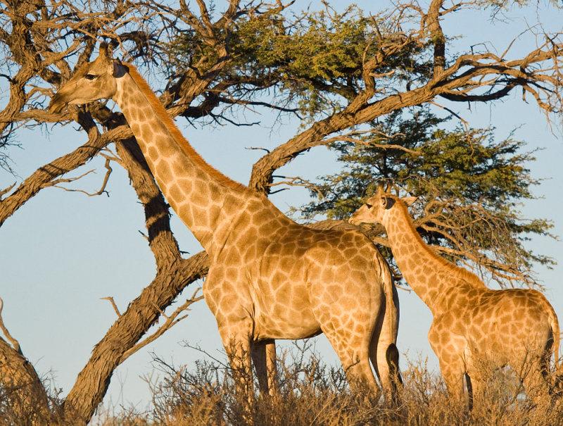Adult and baby giraffe Etosha NP.jpg