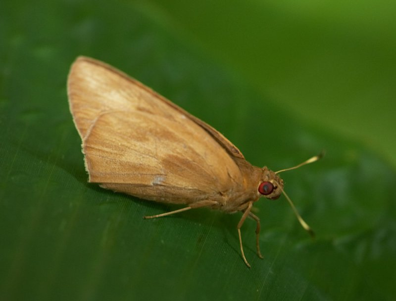 Banana Skipper 黃斑蕉弄蝶 Erionota torus
