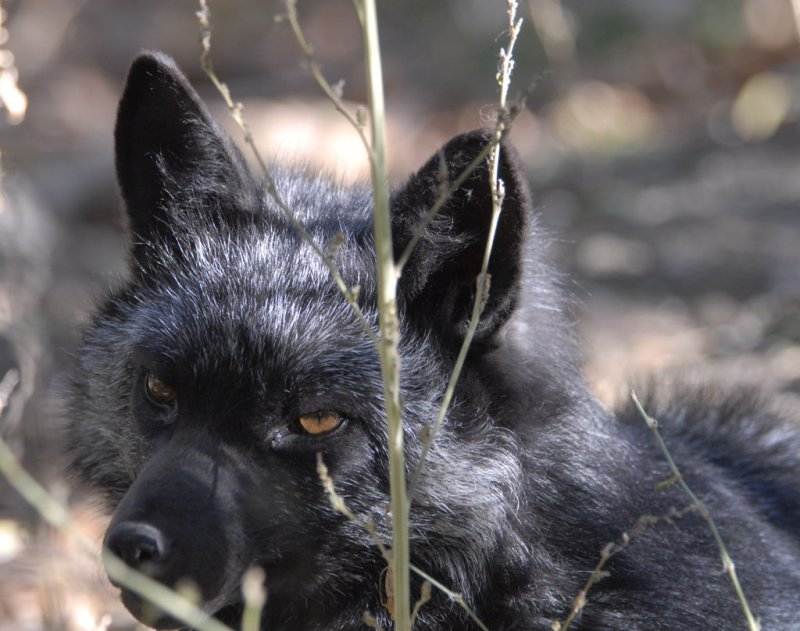 Silver Fox at Pocatello Zoo _DSC1208.jpg