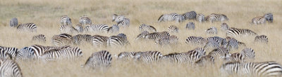 Zebras feeding in tall grass, Masai Mara.