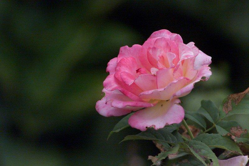 rose800.jpg