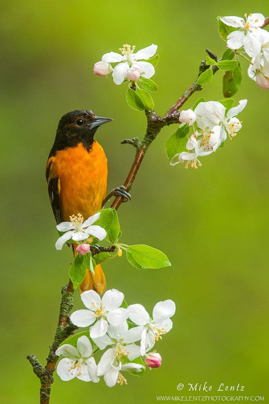 Baltimore Oriole on cherry blossum