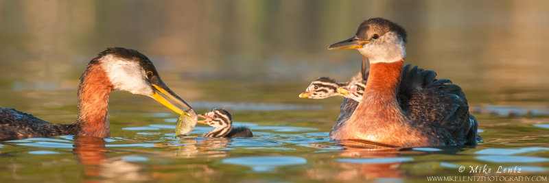 Red-necked Grebe feeding baby while others watch on