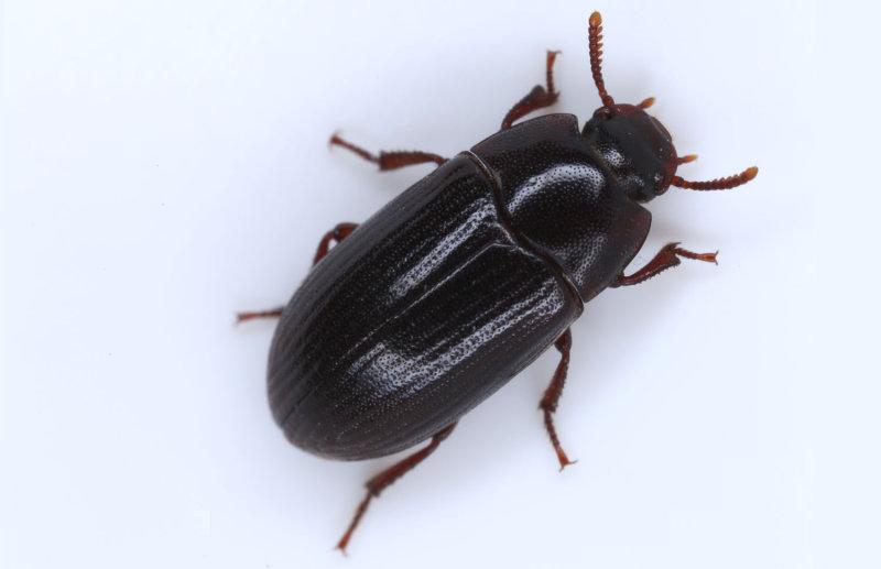 Alphitobius-diaperinus.jpg