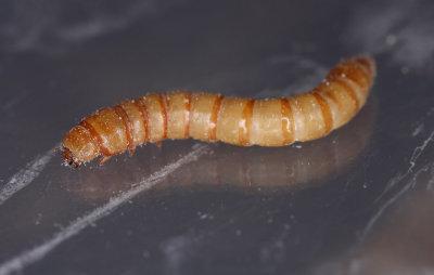Tenebrio-molitor_larva.jpg