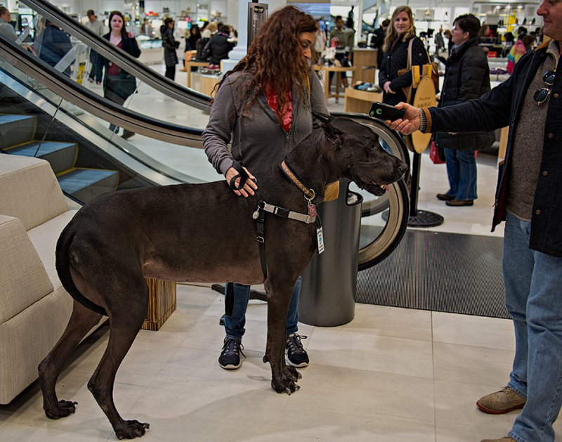 Great Dane - Service Dog #1