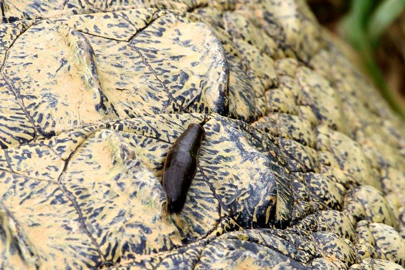 Croc leech