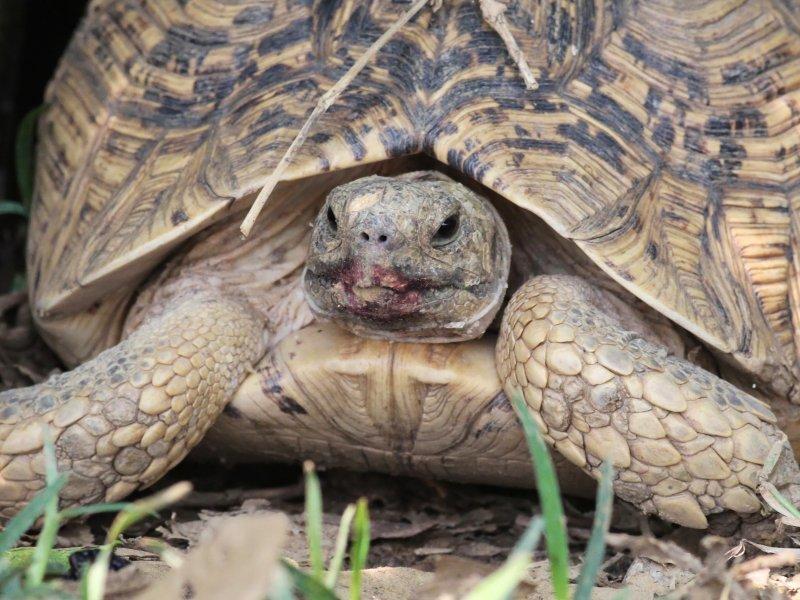 Kalimba Turtle