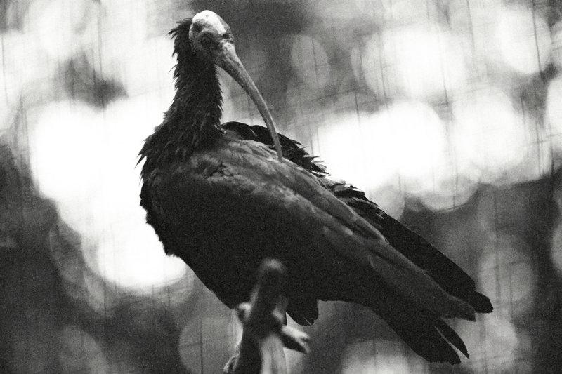 bald headed Ibis