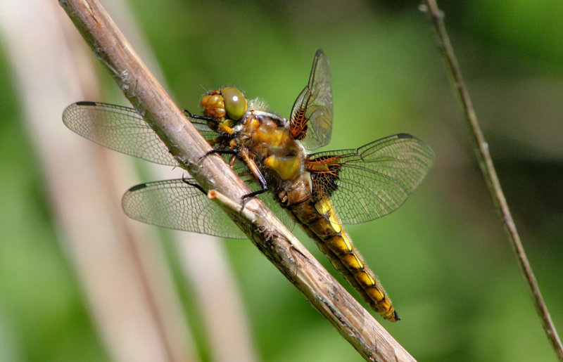 Broad Bodied Chaser (Female).