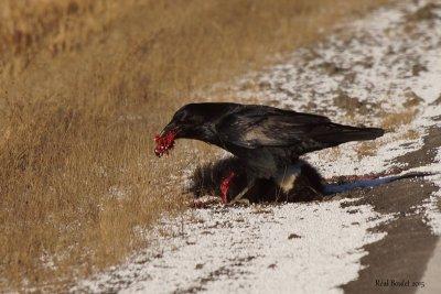 Grand Corbeau (Common Raven)