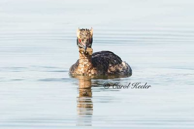 Horned Grebe with Food