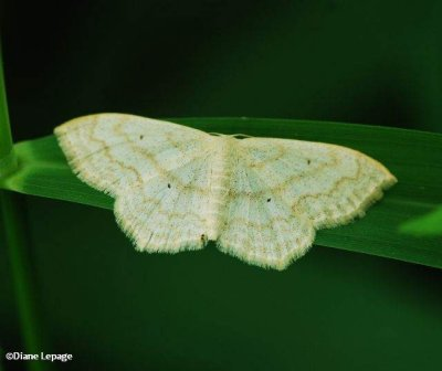 Soft-Lined Wave (Scopula inductata), 7169 or Large lace border?