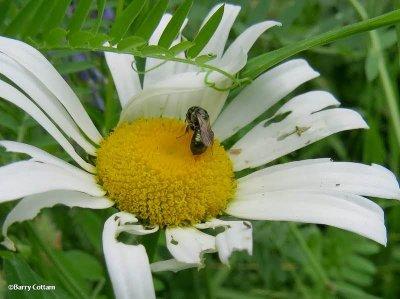 Bee on ox-eye daisy