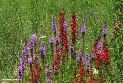 Liatris and cardinal flower