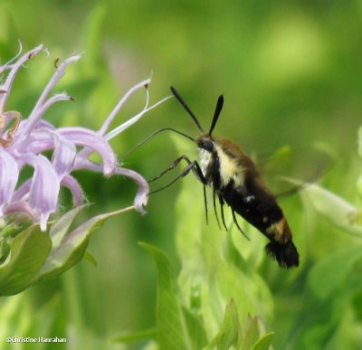 Snowberry Clearwing moth  (Hemaris diffinis) on monarda