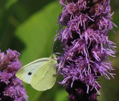 Cabbage white (Pieeris rapae) on Liatris