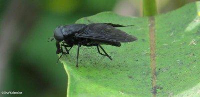 Horse fly (Tabanus atratus)