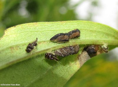 Treehoppers, adults and nymphs (Publilia concava)