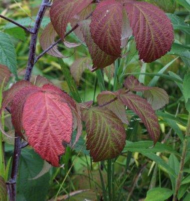 Wild raspberry (Rubus idaeus)