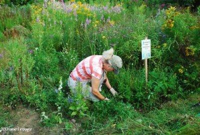 Volunteer weeding the butterfly meadow