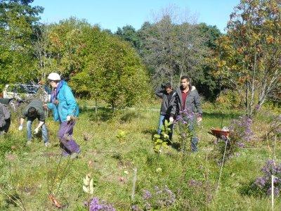 Planting milkweeds