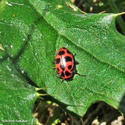 Spotted lady beetle (Coleomagilla maculata)