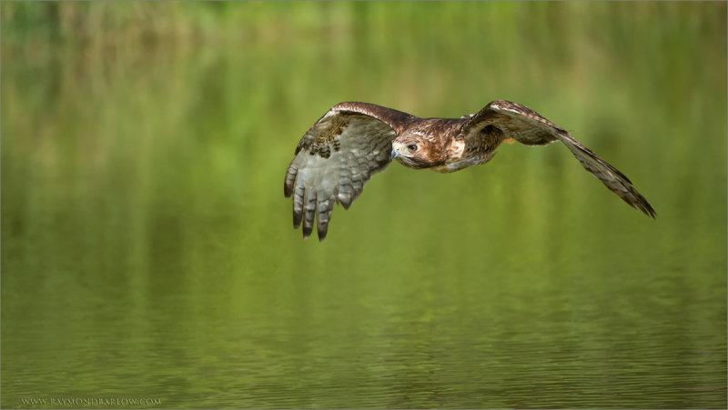 Red-tailed Hawk in Flight   (Falconers bird)