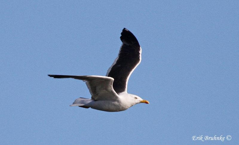 Adult Lesser Black-backed Gull