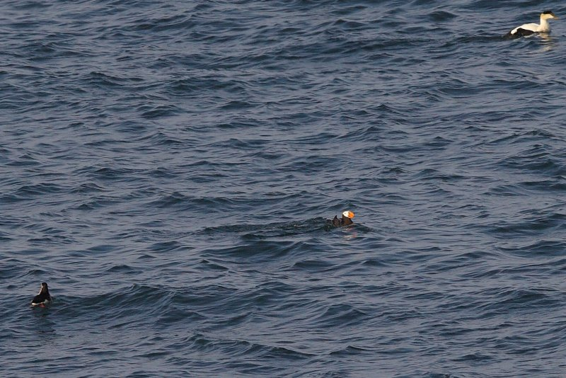 TUFTED PUFFIN @ MSI  #12