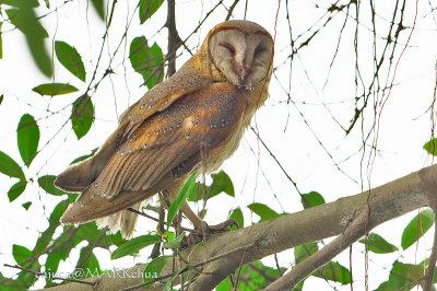 Barn Owl (Tyto alba )