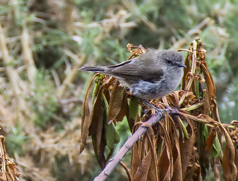 Grey Warbler (I think)