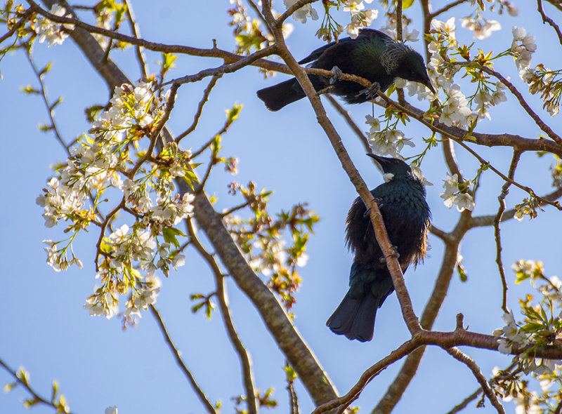 2 Tuis and spring blossom