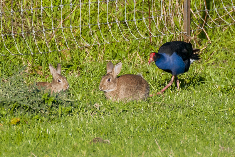 The Pukeko wants to chat to the two Rabbits