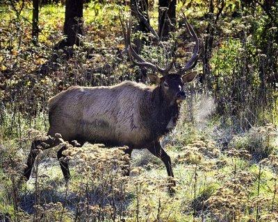 Arkansas Elk, Buffalo National River
