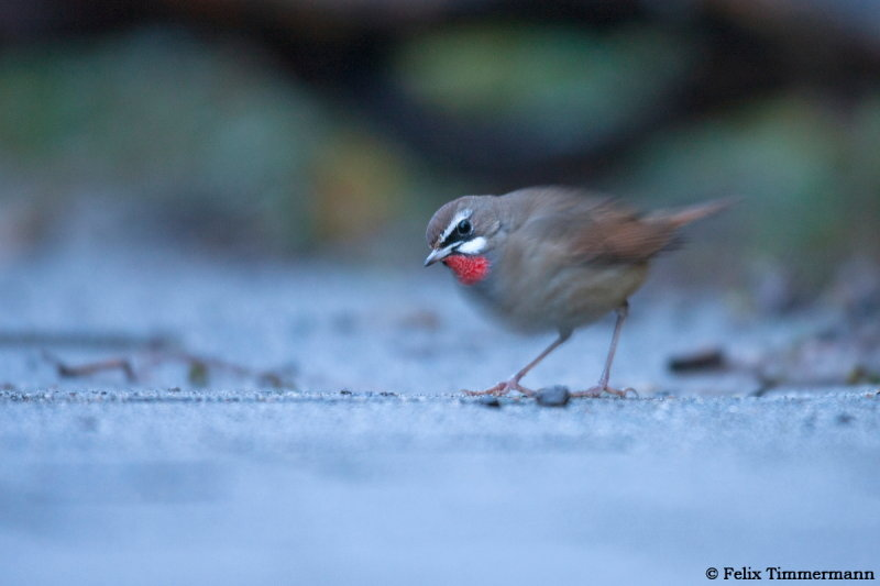 First view of the Rubythroat just after the rain faded.