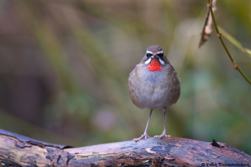 Just me and the Rubythroat for hours, great time!