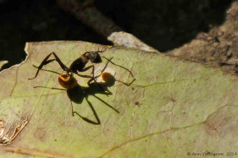 Golden Carpenter Ant