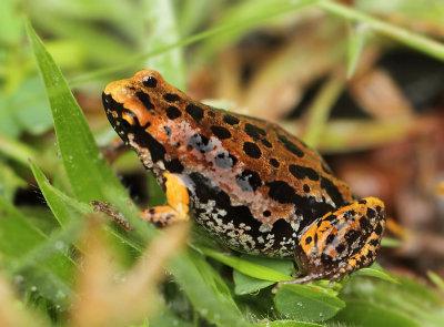 Amphibians / Amfibieën